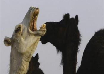 إصابة 5 حالات من الإبل بفيروس «كورونا»  بالكويت