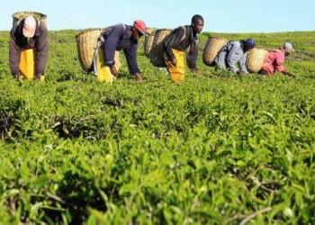 مزارعو الشاي في كينيا يهددون باقتلاع أشجاره بسبب تدني الأسعار