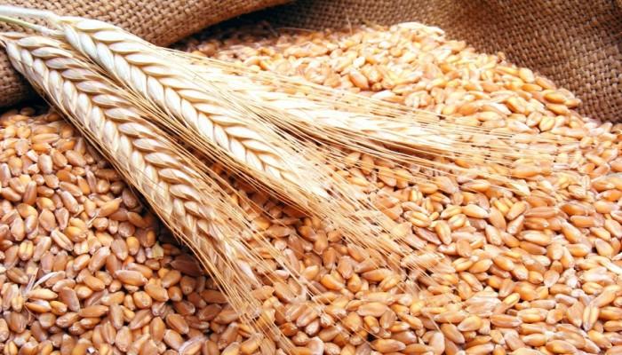 توقعات بوقف تصدير القمح الروسي إلى مصر بسبب فرض روسيا القيود على صادرات الحبوب