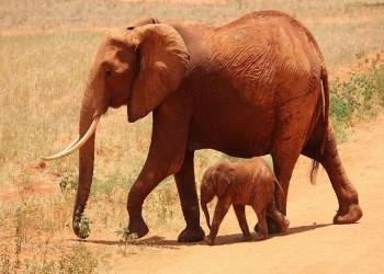 فيلة أم تبكي على وفاة طفلها في الهند