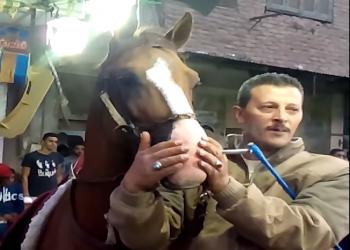 فيديو .. إجبار حصان على تدخين «حشيش» في فرح شعبي بمصر