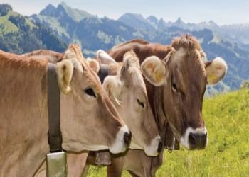 محكمة سويسرية تغرم مواطنا 14 ألف دولار لتهديده أبقارا بالسلاح