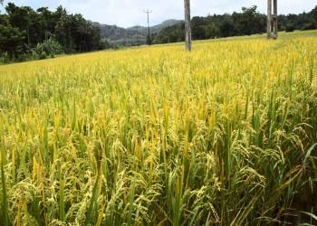 مصر تفرض غرامات بقيمة 3 مليارات جنيه على مزارعي الأرز