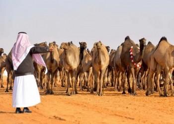 مسؤول سعودي: إبل أمير قطر ووالده ترعى بأراضي المملكة