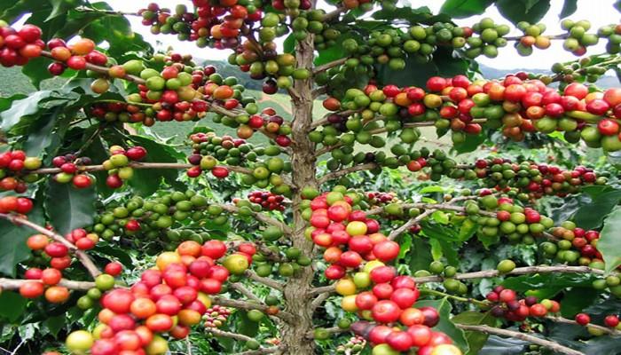 دراسة: محصول القهوة في خطر بسبب التغيرات المناخية