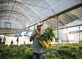 غزة تنتج «الأناناس» بنجاح للمرة الأولى