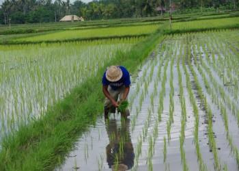 تقليص مساحة الأرز المزروعة في مصر توفيرا للمياه