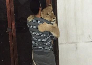 في الكويت.. سعر الفهود والنمور والأسود يصل إلى 3 آلاف دينار