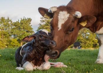 7% من الأمريكيين: البقرة البنية هي مصدر حليب الشيكولاتة