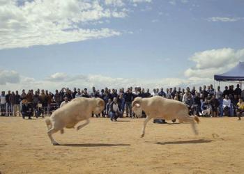«كباش ورجال».. فيلم قطري في مهرجان سينمائي بمصر