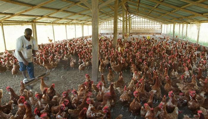 عمان والعراق والأردن يحظرون استيراد الطيور الحية من السعودية