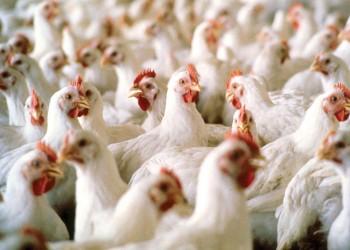 تسجيل 11 إصابة بإنفلونزا الطيور خلال 24 ساعة بالسعودية