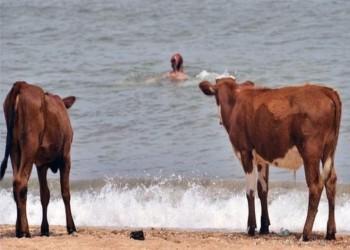 """""""شواطئ العراة"""" بالسويد ملاذ الأبقار لمواجهة الحر"""