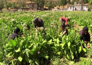 منظمة الصحة العالمية: زراعة التبغ تضر البيئة