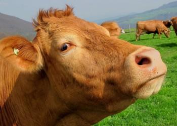 هل تعتقد أن الحليب بالشوكولاتة يأتي من الأبقار البنية؟