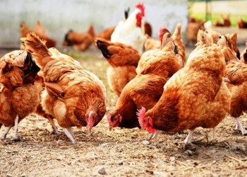 اجتمعن عليه.. هكذا قتلت دجاجات فرنسية ثعلبا متسللا