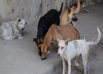 الكويت تنفي قتلها بالسم وتؤكد: خصينا 200 كلب في 6 أشهر