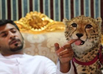 أثرياء الخليج يهددون الفهود بالانقراض
