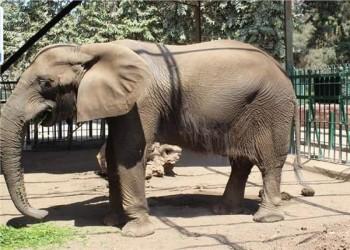 نفوق آخر فيل في مصر عن عمر 40 عاما