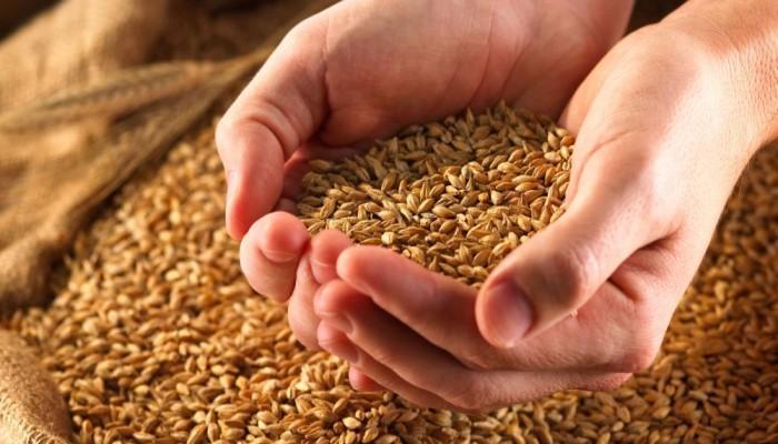 """مصر تنفي تغيير نسبة فطر """"الإرجوت"""" الضار في القمح المستورد"""