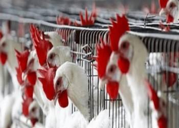 مصر: أنباء انتشار إنفلونزا الطيور بمزارع الدواجن غير صحيحة