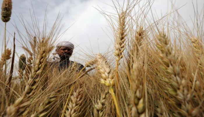 مسؤول مصري يقر بعدم زراعة المساحة المستهدفة من القمح
