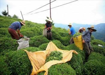 تركيا صدرت الشاي إلى 110 بلدان في 2019