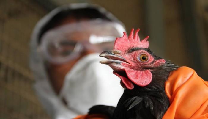 الكويت تحظر استيراد الدجاج من السعودية بسبب إنفلونزا الطيور