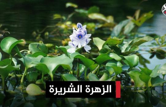 زهرة شريرة تهدد موارد المياه في العراق