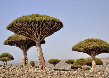 مسؤول يمني يتهم الإمارات بتهريب أشجار من سقطرى