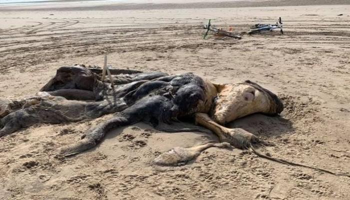بريطانيا.. العثور على جثة ضخمة لحيوان غريب على شاطئ (صور)