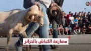 مصارعة أبطالها الخراف في الجزائر