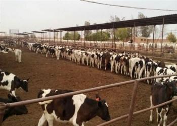 السعودية تعيد 58 ألف رأس ماشية للسودان.. لماذا؟