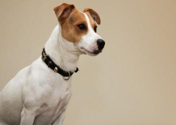 السعودية تدرب كلابا على اكتشاف المصابين بكورونا