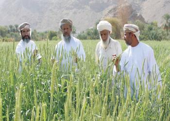 132% ارتفاعا بإنتاج القمح في سلطنة عمان