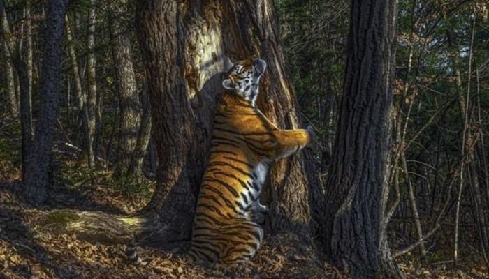 جائزة العام لتصوير الحياة البرية لصورة نمرة تحتضن شجرة