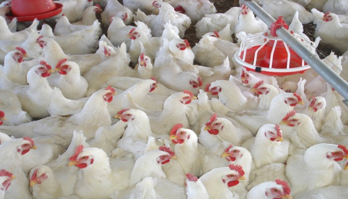 الإمارات ترفع الحظر عن استيراد اللحوم والدواجن من مصر
