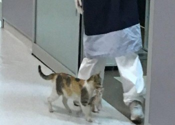 قطة تحمل صغيرها المريض في فمها إلى المستشفى وتطلب المساعدة (فيديو)