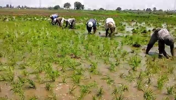 لمواجهة أزمة المياه.. مصر تبدأ في زراعة الأرز الجاف