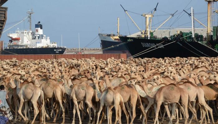 ركود في الصومال إثر توقف واردات دول الخليج من الماشية